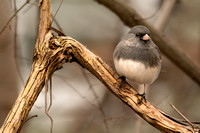 Perched Junco