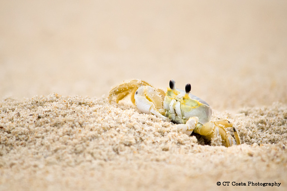 delaware ghost crab photo