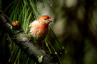 70228_House Finch